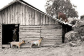 Herd of goats out of the shed, retro style — Stock Photo