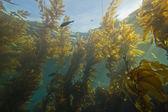 Giant kelp forest (Macrocystis pyrifera) — Stock Photo