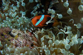 Clown fish in sea anemone — Stock Photo