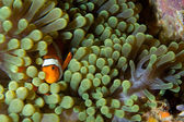 Clown fish in green anemone — Stock Photo