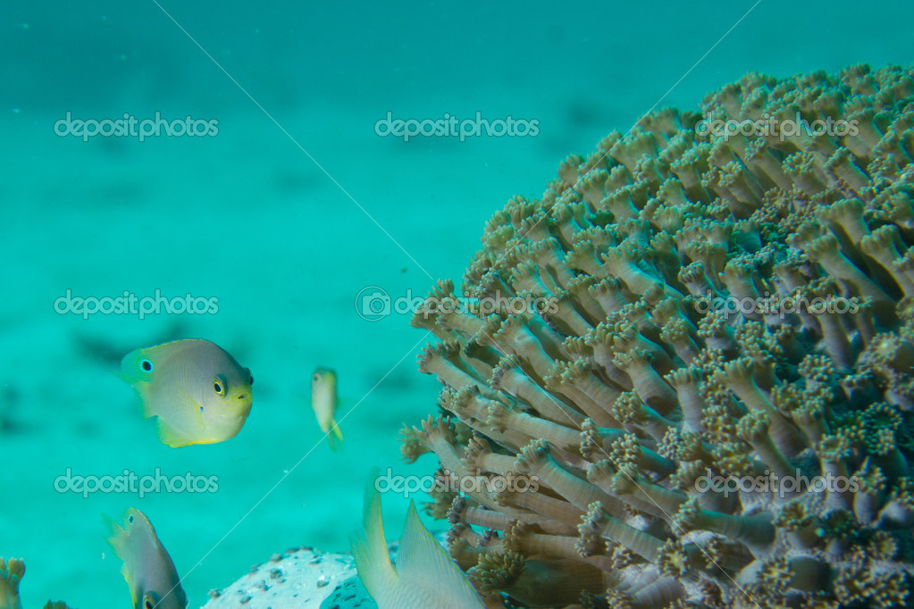 A territorial damsel fish stares down the camera.  Stock Photo #10779857
