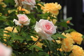 The bush roses — Stock Photo