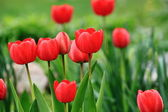 Red tulips in the city park — Stock Photo