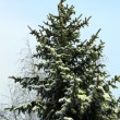Stock Photo: Fir-tree is in winter forest