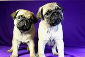 Beautiful puppies of pug — Stock Photo