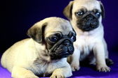 Beautiful puppies of pug — Stock Photo