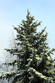 A fir-tree is in the winter forest — Stock Photo