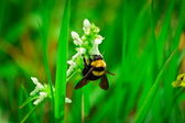 Bumble-bee on a flower — Stock Photo