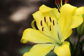 Beautiful Yellow Lilies — Stock Photo