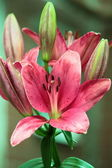 Beautiful Rose Lilies — Stock Photo