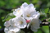Apple tree in bloom — Stock Photo