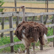 Stock Photo: Ostrich in aviary