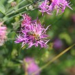 Bee on flower — Stock Photo #11642185