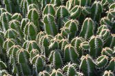 Cactus closeup — Stock Photo