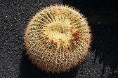Cactus on black sandy soil background — Stock Photo