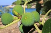 Verdant fig fruits on a branch — Stock Photo