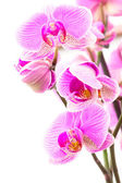 Some Orchids 2 — Stock Photo