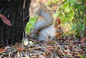 松鼠 — 图库照片