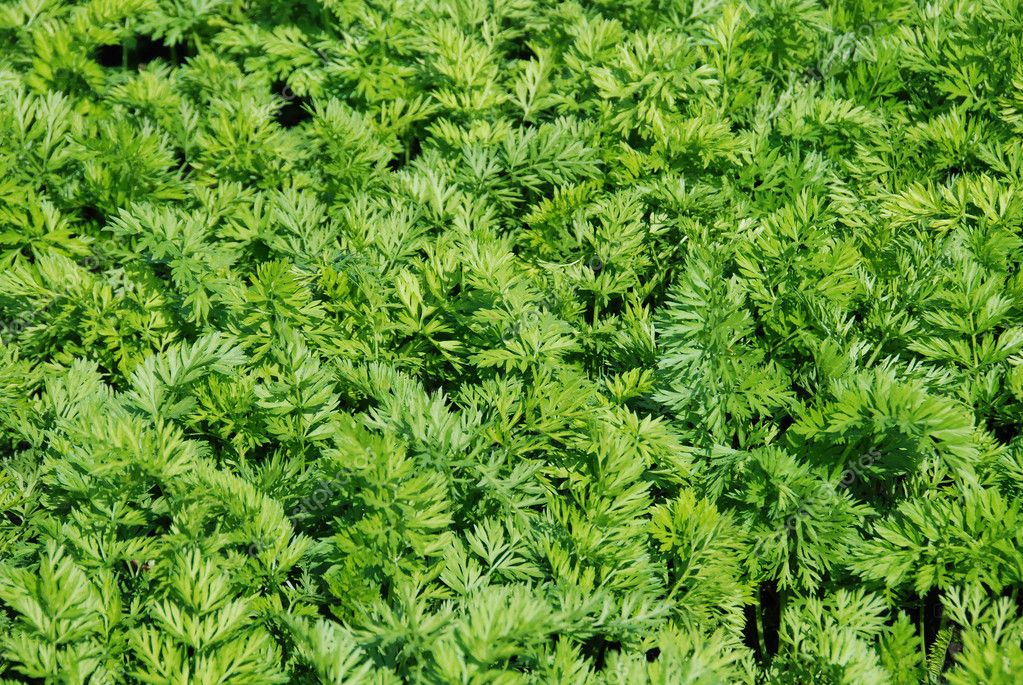 Green background of the carrot — Stock Photo #11312517