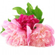 Stock Photo: Peony Flowers garden