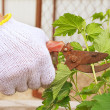 Stock Photo: Spring Garden work with secateurs