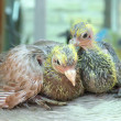 Stock Photo: Pigeon baby nestling playing together