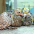 Stock Photo: Pigeon nestlings bird sitting together