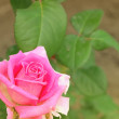 Stock Photo: Pink Rose beautiful Flower background