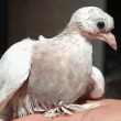 Dove nestling white sitting on hand little — Stock Photo