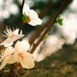 Stock Photo: Flowers of wild Apricot Tree Spring