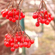 Viburnum Guelder rose berry branches natural — Stock Photo