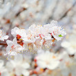 Stock Photo: Flowering Apricot tree Spring white flowers