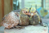 Pigeon nestlings bird sitting together — Stock Photo