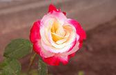 玫瑰花卉水粉色滴眼液 — 图库照片