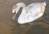 Beautiful wild swan — Stock Photo