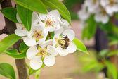 Kwitnące drzewo gruszy i pszczoła podjęte pyłek tło — Zdjęcie stockowe