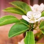 Flower on Pear Tree in Garden — Stock Photo