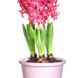 Pink hyacinths in flower pots, isolated on white background — Stock Photo