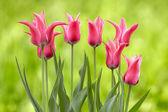 Pink tulips, with clipping path, on a green background — Stock Photo
