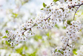 Blooming cherry branch — Stock Photo