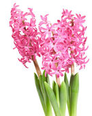 Jacintos rosa ramo aislados sobre fondo blanco — Foto de Stock