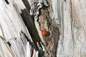 テントウムシ — ストック写真