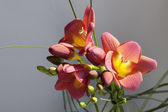 Close up of red and yellow flowers of freesia — Stock Photo