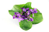 Violets Isolated on White Background — Stock Photo