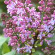 A sprig of lilac - Stock Photo