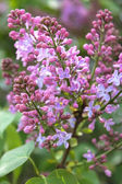 A sprig of lilac — Stock Photo
