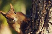 Ardilla en un árbol — Foto de Stock