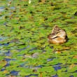 Mallard duck on a pond surrounded by water lilies — Stock Photo