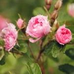 Beautiful pink peony flowers — Stock Photo