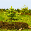 Two planted little fir trees — Stock Photo